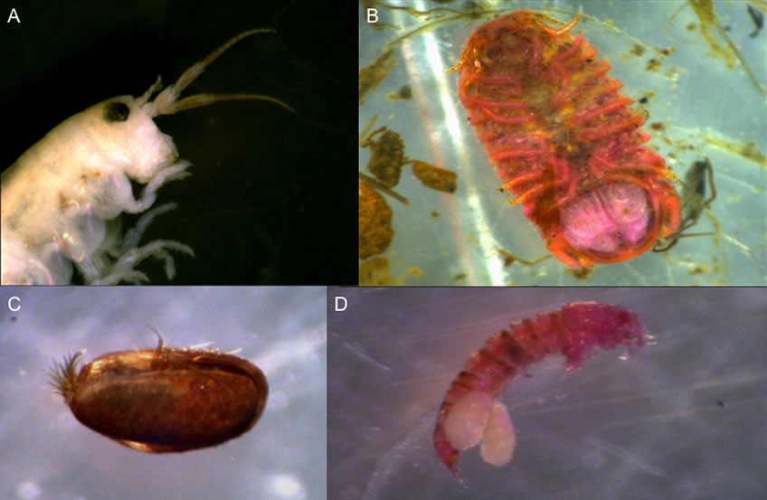 Four invertebrates found in benthic cores. (A) Talitridae, amphipod; (B) Ventral side of a isopod; (C) Ostracod; (D) Harpacticoida copepod with paired egg sac.